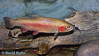 "1214-0902  Rainbow trout or Inland Redband Trout, Oncorhynchus mykiss or Salmo gairdneri ""from New England, United States""  © David Kuhn/Dwight Kuhn Photography"