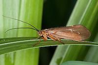 Köcherfliege, Pilzkopf-Köcherjungfer, Weibchen, Anabolia nervosa