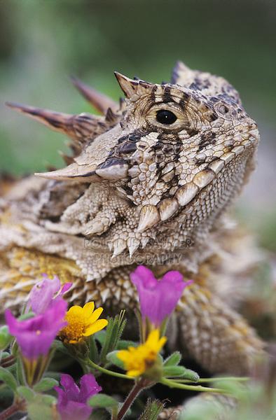 Texas Horned Lizard, Phrynosoma cornutum, adult with flowers, Lake Corpus Christi, Texas, USA, April 2003