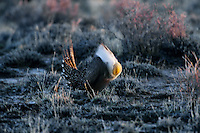 Male Sage grouse displaying--air sacs inflated--on lek in eastern Oregon.  March.