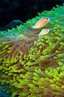 pink anemonefish, Amphiprion perideraion, Wakatobi, Indonesia, Pacific Ocean