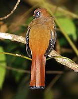 Female masked trogon