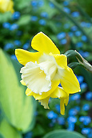 Narcissus Intrigue daffodil yellow with white cup, against blue Myosotis forget-me-nots, Hosta June, spring flowering bulbs with perennial foliage and flowering plants