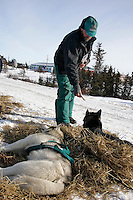 Wayne Curtis gives his dogs a dog bone as they rest in Koyuk on Friday