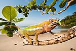 Male Panther Chameleon (Furcifer pardalis) with preying mantis in beach side vegetation. Bay of Antongil, Masoala Peninsula National Park, north east Madagascar.