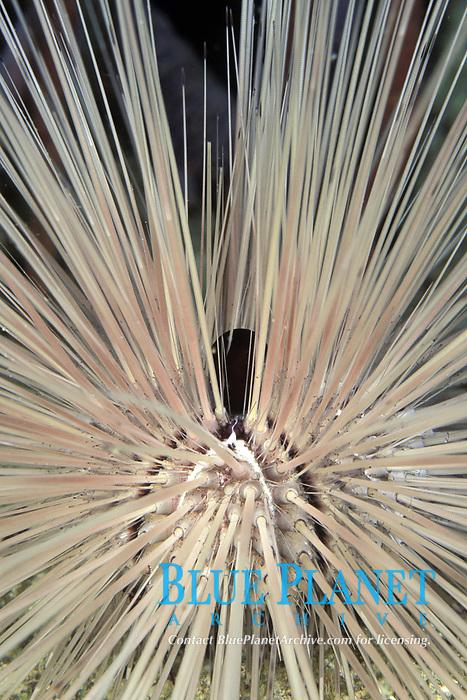 long spined sea urchin, Diadema antillarum, Bonaire