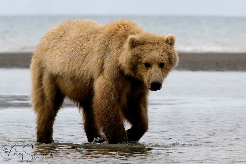 This sub-adult brown bear (Ursus arctos middendorffi) is waiting for the tide to go out so that he/she can look for clams. An early summers delicacy.<br /> Halo Bay, Katmai National Park.