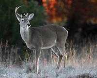 White-tailed Buck (Odocoileus virginianus) in winter.