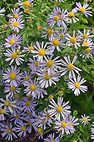 Boltonia asteroides var. latisquama 'Jim Crockett' in many blue flowers