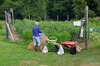 Woman cleaning harvest in community garden, Maine