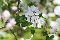 Apfel, Apfelbaum, Apfelblüte, Obstblüte, Kultur-Apfel, Malus domestica, Apple, Obstbaum
