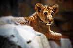 Lion cub resting on a rock.