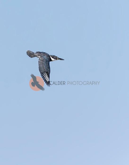 Belted Kingfisher in flight with wings in downstroke