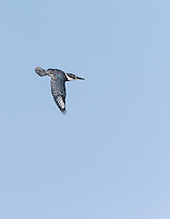 Belted Kingfisher in flight with wings in downstroke