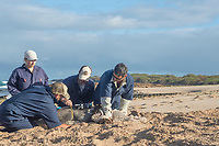 NOAA researcher Dr. Charles Littnan (center) measures the girth of a Hawaiian monk seal, Neomonachus schauinslandi, to which he has just attached a Crittercam and tracking instrumentation package; west end of Molokai, Hawaii, photo taken under NOAA permit 10137-6, Ho ike a Maka Project