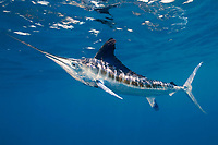 white marlin, Kajikia albida, off Yucatan Peninsula, Mexico, Caribbean Sea, Atlantic