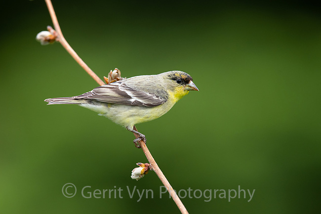 Lesser Goldfinch (Spinus psaltria). Multnomah County, Oregon. May.