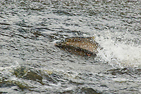 Coho or Silver Salmon swimming across shallow rock shelf on fall spawning migration up Pacific Northwest river.