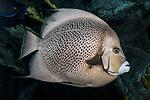 grey angelfish facing right