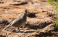 Female Gambel's Quail, Callipepla gambelii, in the Riparian Preserve at Water Ranch, Gilbert, Arizona