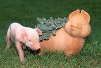 Piglet with terracotta pig