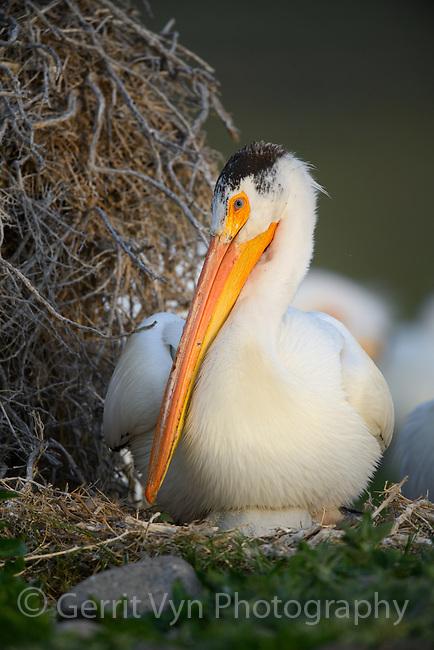 American White Pelican (Pelecanus erythrorhynchos) incubating nest. Lake County, Oregon.