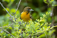 Baltimore Oriole (Icterus galbula), female in breeding plumage foraging on its breeding territory at Doodletown, Bear Mountain State Park, New York.