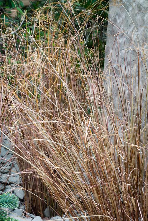 Carex comans 'Frosted Curls' ornamental grass sedge