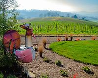 Rooster sculpture looking over grape vines in vineyard in the Willamette Valley, OR