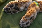 Balkan Lynx (Lynx lynx balcanicus) paws of female during collaring, Mavrovo National Park, North Macedonia