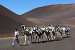 Spain, Canary Island, Lanzarote, near Yaiza: Parque Nacional de Timanfaya (Timanfaya National Park) -  Dromedary rides up the slopes of Timanfaya mountain   Spanien, Kanarische Inseln, Lanzarote, bei Yaiza: Dromedarreiten im Timanfaya Nationalpark (Parque Nacional de Timanfaya)