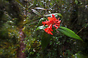 Rhododendron javanica ssp. cockburnii is endemic to the montane mossy heath forests or 'kerangas' of Sabah. Southern plateau of Maliau Basin, Sabah's 'Lost World', Borneo.