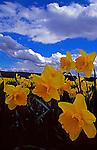 Daffodile bulb farm in Puyallup Valley, Washington