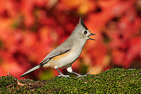 Black-crested Titmouse (Baeolophus atricristatus),  adult on mossy log and autumn leaves of Bigtooth Maple (Acer grandidentatum), Hill Country, Central Texas, USA