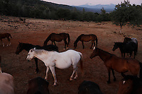 "Wild horses are social animals looking out for the herd as others graze.<br /> <br /> Dianne Nelson has saved mustangs on a ranch in northern California.  ""It was in 1978 that the Wild Horse Sanctuary founders rounded up almost 300 wild horses for the Forest Service in Modoc County, California. Of those 300, 80 were found to be un-adoptable and were scheduled to be destroyed at a government holding facility near Tule Lake, California. <br /> <br /> The Sanctuary is located near Shingletown, California on 5,000 acres of lush lava rock-strewn mountain meadow and forest land. Black Butte is to the west and towering Mt. Lassen is to the east. <br /> Their goals:<br /> Increase public awareness of the genetic, biological, and social value of America's wild horses through pack trips on the sanctuary, publications, mass media, and public outreach programs.<br /> Continue to develop a working, replicable model for the proper and responsible management of wild horses in their natural habitat.<br /> Demonstrate that wild horses can co-exist on the open range in ecological balance with many diverse species of wildlife, including black bear, bobcat, mountain lion, wild turkeys, badger, and gray fox.<br /> Collaborate with research projects in order to document the intricate and unique social structure, biology, reversible fertility control, and native intelligence of the wild horse."