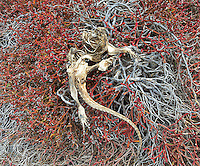 Occasionally one comes across carcasses on the islands.  This is the remains of a marine iguana.