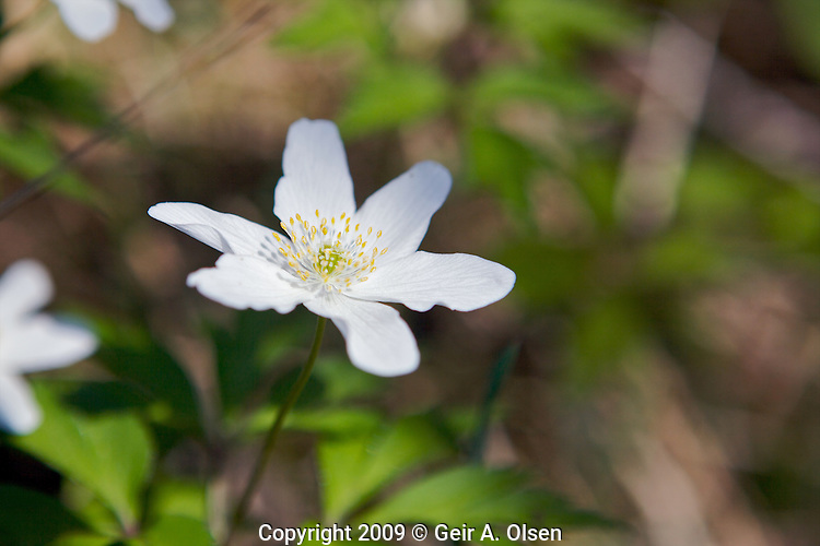 Wood anemone on a sunny day