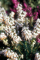 Erica carnea 'Isabell' heath in white flowering bloom