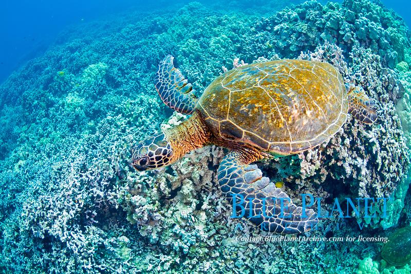 green sea turtle, Chelonia mydas, endangered species, Kohala Coast, Big Island, Hawaii, USA, Pacific Ocean