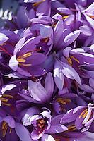 Europe/France/Midi-Pyrénées/46/Lot/Larnagol: récolte des fleurs de safran dans la safranière de Madame Angé à Larnagol  // France, Lot, Larnagol, Madame Ange's saffron plantation, harvesting of Crocus sativus flowers where saffron is extracted