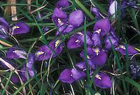 Winter flowering fragrant Iris unguicularis