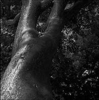 "Gambo Limbo tree<br /> From ""Miami in Black and White"" series. Miami, FL, 2010"