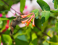 Allen's hummingbird, Selasphorus sasin, at honeysuckle flowers, Lonicera sp. Santa Cruz Mountains, California