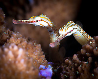 Orange-Spotted Pipefish, Corythichthys ocellatus, Great Barrier Reef, Australia, Pacific Ocean