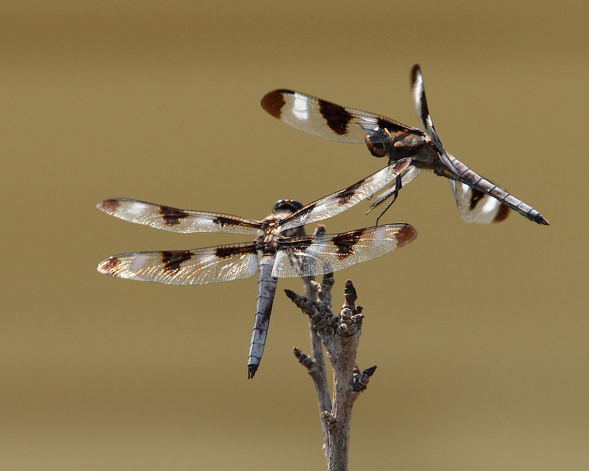 Two male Twelve Spotted dragons competing for the same high spot. One on the roost, one inflight above..