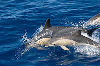 short-beaked common dolphins, Delphinus delphis, calf with fetal folds, Azores Islands, Portugal, North Atlantic Ocean
