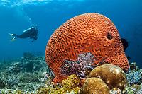 woman scuba diver and brain coral, unusual fluorescent, Tufi, Papua New Guinea, Solomon Sea, South Pacific Ocean, MR