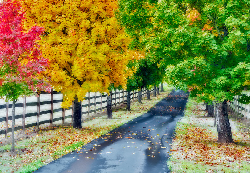 Tree lined drive with fall color. Tualatin, Oregon