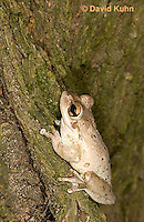 0201-0907  Cuban Treefrog (Cuban Tree Frog) on Tree, Osteopilus septentrionalis  © David Kuhn/Dwight Kuhn Photography