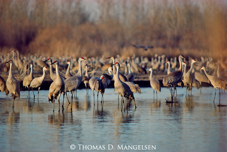 A small portion of the massive Sandhill Crane migration gather on the shallow water and banks of the Platte River, Nebraska.